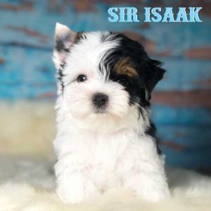 Sir Isaak Biewer Puppy Boy