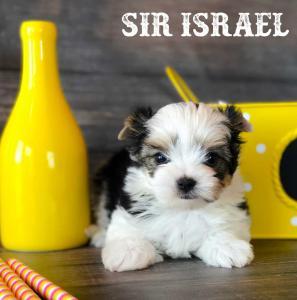 Available Biewer Puppy Sir Israel Biewer Terrier Boy