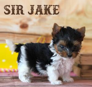 Rocky Mountain Biewer Puppy Sir Jake