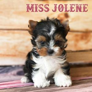 Available Biewer Puppy Miss Jolene