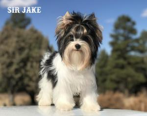 Sir Jake Biewer Terrier Boy