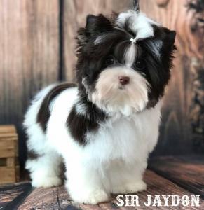 Sir Jaydon Mini Chocolate Biewer Puppy
