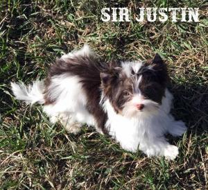 Sir Justin Chocolate Biro Puppy