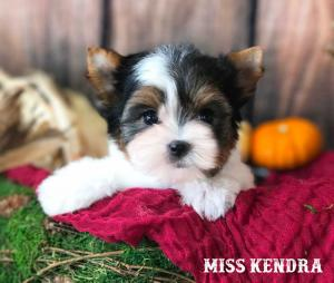 Miss Kendra Standard Biewer Terrier Girl