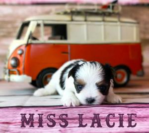 Available Biewer Puppy Miss Lacie