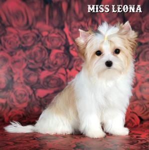 Golddust Biewer Girl Miss Leona