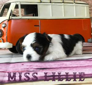 Available Biewer Puppy Miss Lillie