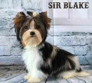 Sir Blake Biewer Terrier Puppy