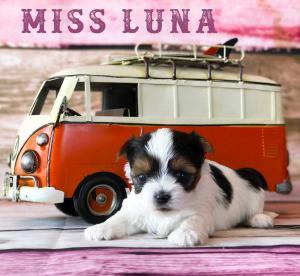 Available Biewer Puppy Miss Luna