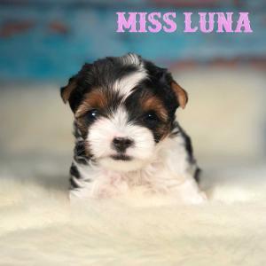 Miss Luna Biewer Terrier Girl