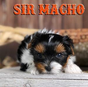 Rocky Mountain's Sir Macho Biewer Terrier Puppy