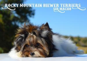 Biewer Puppy Sir Macho