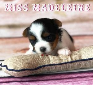 Available Biewer Puppy Miss Madeleine