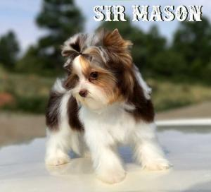 Sir Mason Chocolate Biewer Puppy
