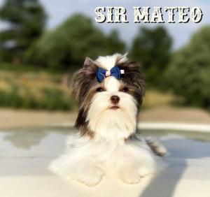 Sir Mateo Chocolate Biewer Puppy