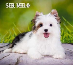 Sir Milo Biewer Terrier Girl