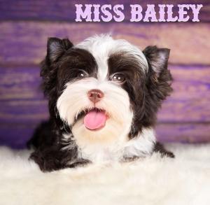 Miss Bailey Chocolate Biewer Puppy