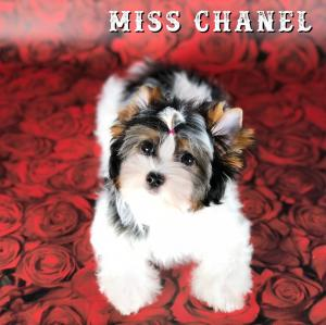 Miss Chanel Biewer Terrier Girl