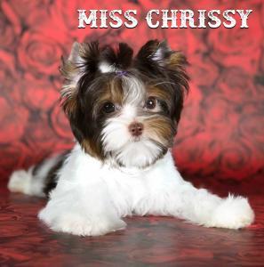 Chocolate Biewer Girl Miss Chrissy