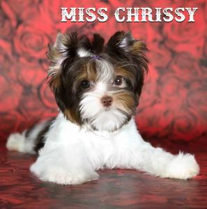 Chocolate Biewer Girl Miss Chrissy