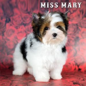 Miss Mary Biewer Terrier Puppy