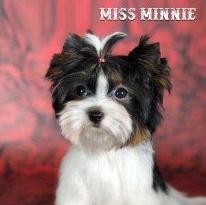 Mini Biewer Terrier Girl Miss Minnie