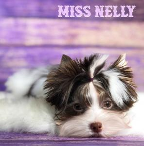 Miss Nelly Chocolate Biewer Terrier