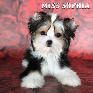 Miss Sophia Biewer Terrier Girl