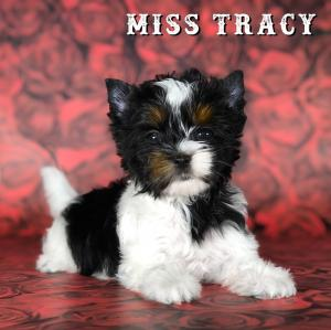 Miss Tracy Biewer Terrier Girl