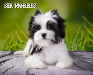 Biewer Puppy Sir Morris