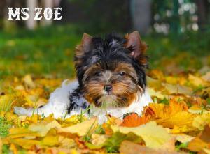 Grad Champion Biewer Terrier Girl Ms Zoe