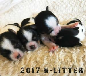 2017 N-Litter Rocky Mountain Biewer Terriers