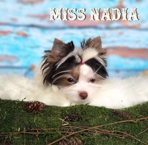 Miss Nadia Chocolate Biewer Yorkie Girl