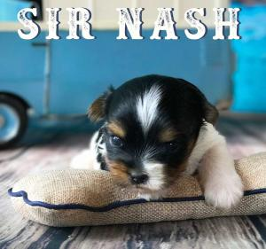 Available Biewer Puppy Sir Nash