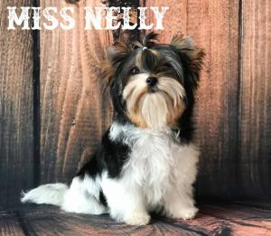 Miss Nelly Mini Biewer Terrier Girl