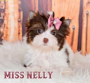 Chocolate Biewer Yorkie Girl Miss Nelly