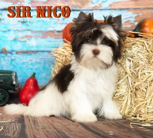 Chocolate Biewer Boy Sir Nico