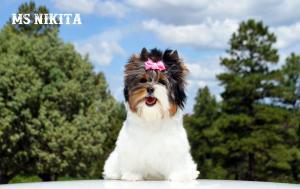 Ms Nikita Standard Biewer Terrier Girl
