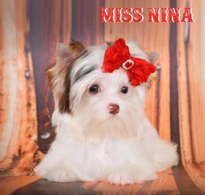 Chocolate Biewer Yorkie Girl Miss Nina