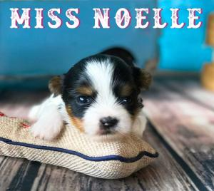 Available Biewer Puppy Miss Noelle