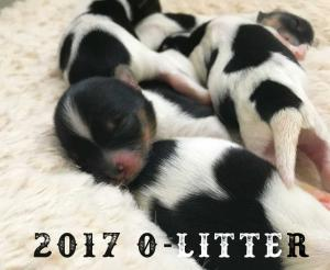 2017 O-Litter Rocky Mountain Biewer Terriers