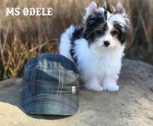 Ms Odele Biewer Terrier Girl