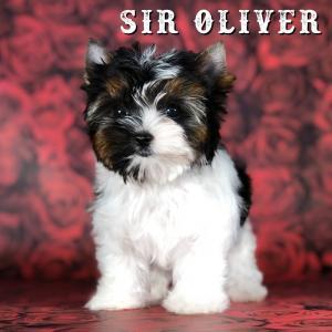Rocky Mountain's Sir Oliver Biewer Terrier Puppy