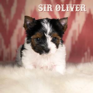 Sir Oliver Biewer Terrier Puppy