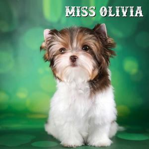 Chocolate Biewer Terrier Girl Olivia