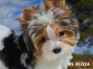 Ms Olivia Biewer Terrier Girl