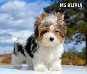 Ms Olivia Biewer Terrier Girl