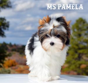 Ms Pamela Biewer Terrier Girl