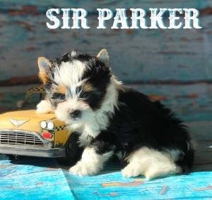 Biewer Terrier Puppy Sir Parker