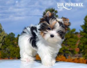 Sir Phoenix Biewer Terrier Boy